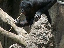A Bonobo at the San Diego Zoo 'fishing' for termites